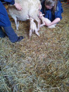 Gunnesbos nyfödda lamm - Kopia